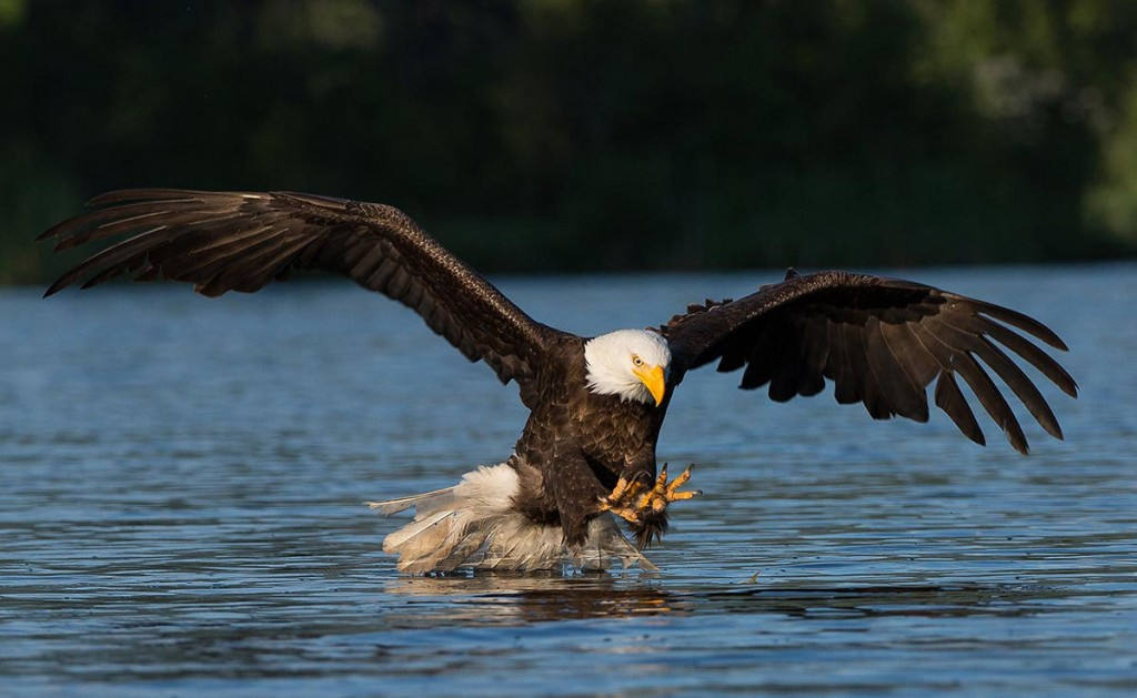 Eagle in Action - by Monte Comeau