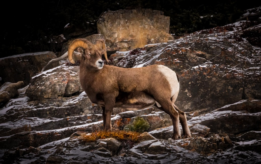 Moutain-Sheep-Ram-Pose--M--11-12-2015